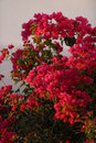 Red bougainvillea flowers closeup of bright in bloom Stock Photo