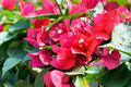 Red bougainvillea flowers flower and green leaves Royalty Free Stock Images