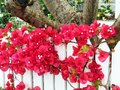 Red Bougainvillea Growing on White Picket Fence Royalty Free Stock Photo