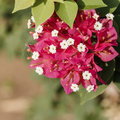 Red Bougainvillea Leaves And F...