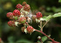 Red brambles on bush ripening in summer sun wild conditions Stock Photography