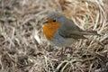 Red breast robin bird Royalty Free Stock Photo