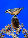 Red-breasted Nuthatch On A Perch Royalty Free Stock Photo