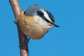 Red breasted nuthatch perched on a branch Royalty Free Stock Photos
