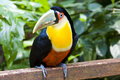 Red-breasted Toucan Stock Image