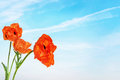 Red bright poppy flowers against sky blue Royalty Free Stock Image