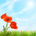 Red bright poppy flowers and green grass against sky blue Royalty Free Stock Photos