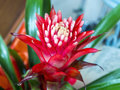 Red Bromelia Flower Royalty Free Stock Photo