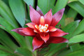 Red bromeliad Stock Image