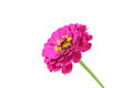 Red bud Echinacea Royalty Free Stock Photo