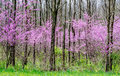 Red bud trees in rural Michigan USA