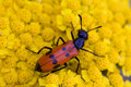 Red bug on yellow flower Royalty Free Stock Photo