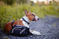 The red bull terrier protects a bag english thoroughbred dog canine friend dog Royalty Free Stock Photos