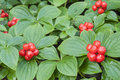 Red bunchberry beautiful wild plants with fruit growing in forest in southeast alaska Stock Photo