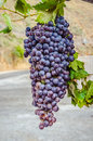 Red bunches of grape on the crete island greece Royalty Free Stock Photos