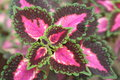 Red burgandy pink and green leaves full frame photograph Royalty Free Stock Image