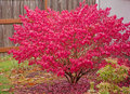 Red Burning Bush Royalty Free Stock Photo