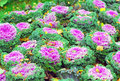 Red cabbage growing in the garden heads closeup autumn Royalty Free Stock Image