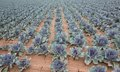 Red cabbage plantation wide angle view of Stock Photography