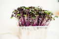 Red cabbage seedlings Royalty Free Stock Photo