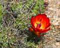 Red cactus flower orange of a hedgehog or claret cup echinocereus triglochidiatus in a desert landscape in texas Royalty Free Stock Photography