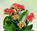 Red calandiva flowers close up green gradient background Royalty Free Stock Photo