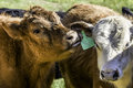 Red calf nuzzling another calf s ear close up of licking other Stock Image
