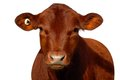Red Calf on White Background Royalty Free Stock Photos