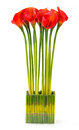 Red calla lily bunch of in glass vase isolated on white Stock Photos