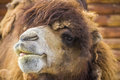 Red camel with the tongue one close up Stock Photo