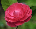 Red camellia Stock Photos