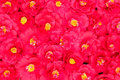 Red camellia full frame beautiful camellias fulling the Royalty Free Stock Images
