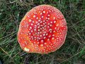 Red cap toadstool natures warning sign fungi growing in greek mountain forest Royalty Free Stock Images