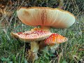 Red Cap Toadstools Royalty Free Stock Photo