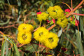 Red-Capped Gum Flowers Royalty Free Stock Photo