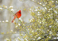Red cardinal bird in snow a male sits on a rose bush during a Stock Photo