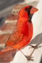Red cardinal standing on a windowsill and peering in the window Royalty Free Stock Photos