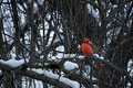 Red cardinal in winter pearched male Stock Photo