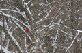 Red Cardinals in the Snow Royalty Free Stock Photo
