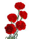 Red Carnation Bouquet Royalty Free Stock Photo