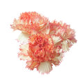 Red carnation flower heads  isolated Royalty Free Stock Photo