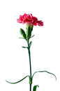 Red carnation flower isolated with clipping path on white Stock Images