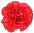 Red Carnation flower on white Royalty Free Stock Photo