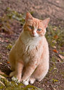 Red Cat. Stock Photography