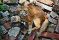 Red cat bristling standing on a on the rubble bricks Royalty Free Stock Images