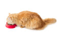 Red cat, eat dry cat food from a red bowl