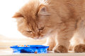 Red cat eats food from blue bowls close up Stock Photo