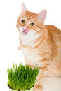 Red cat eats green grass isolated on white Royalty Free Stock Photo