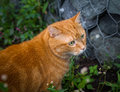 Red cat on the hunt for prey selective focus Stock Photos