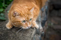 Red cat on the hunt for prey selective focus Stock Image